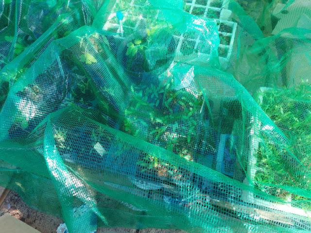 Trays of seedlings underneath green mesh