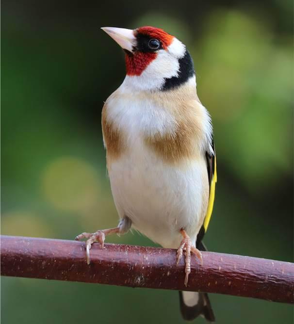 طائر الحسون البري Wild goldfinch