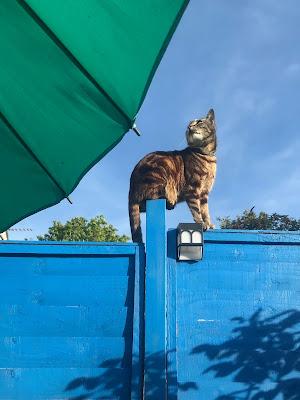 A tabby cat on a blue fence.