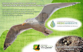 Plaga-Gaviota-patiamarilla-Melilla-blog