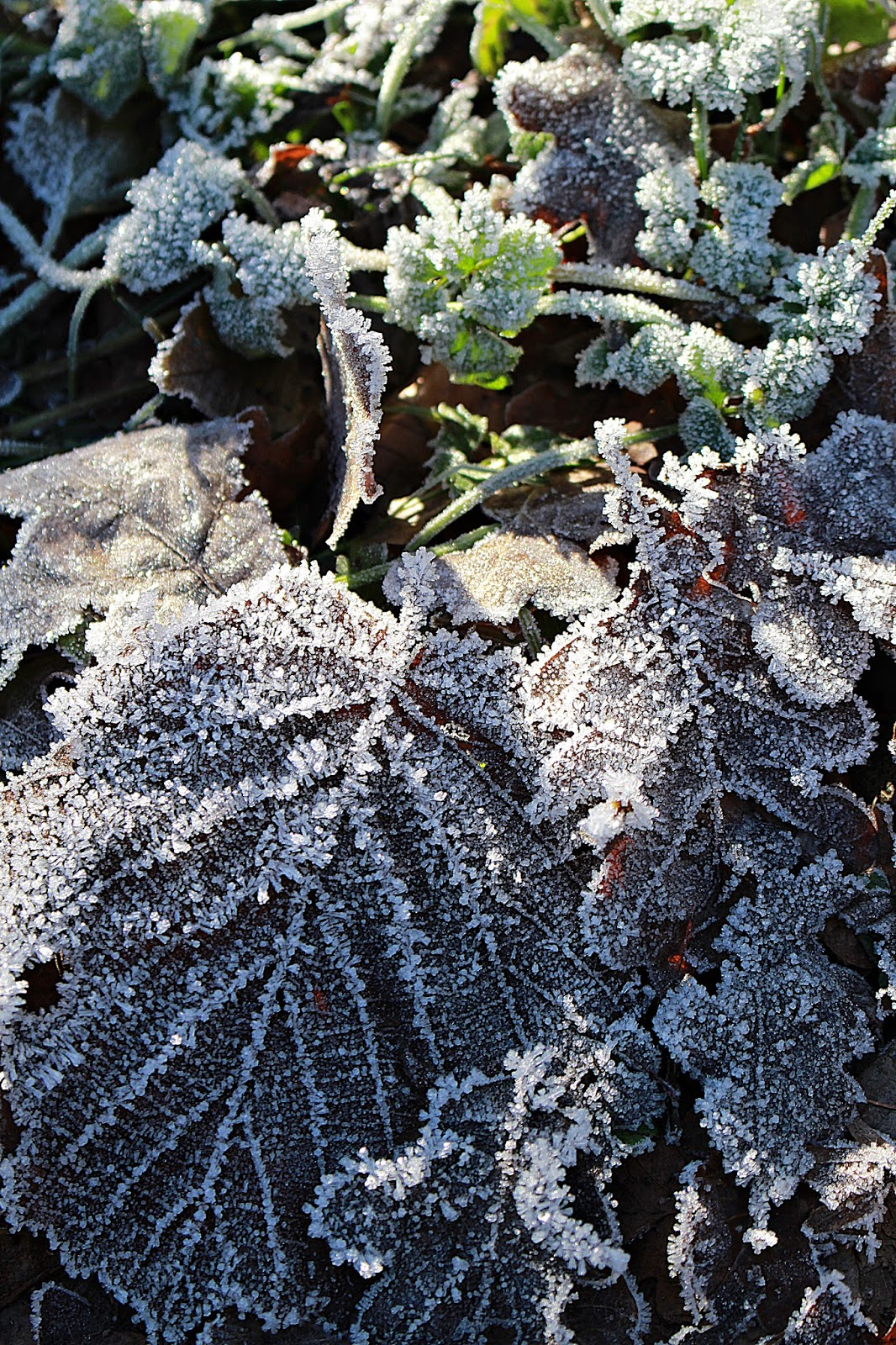 Der Frost Hat Bezaubernde Bilder Geschaffen. Winterblätter.