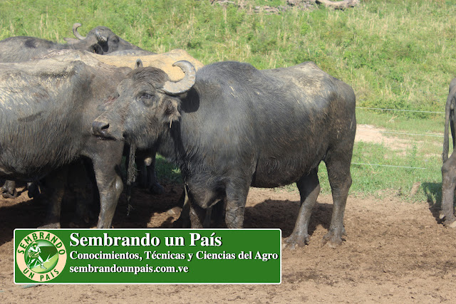 producción de carne de búfalo