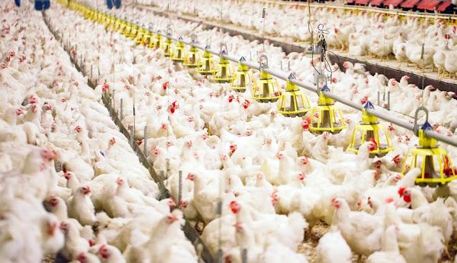 Tips Meraup Untung Dengan Beternak Ayam