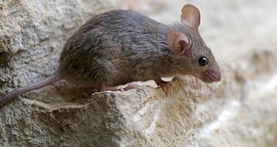 Diệt chuột tại Thái Bình