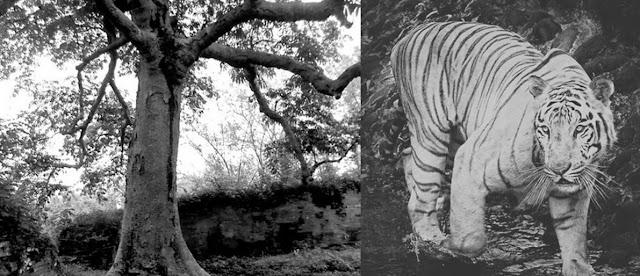 siluman-harimau-putih-penunggu-pohon-keramat