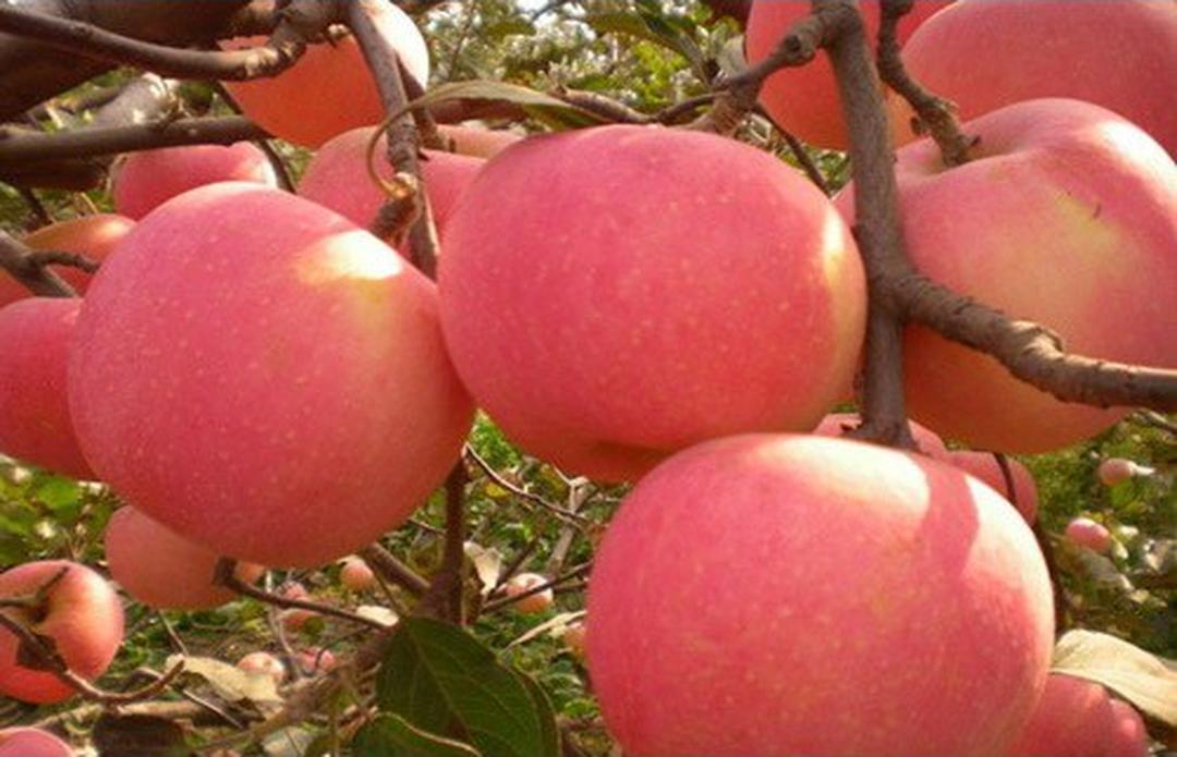 Borong Segera! benih buah apel fuji import 4 seed Kota Kediri #bibit