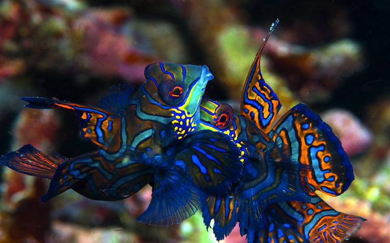 El pez mandarín o gobio mandarín (Synchiropus splendidus) es un pequeño pez de colores brillantes perteneciente a la familia de los dragoncitos, que es muy popular en los acuarios de agua salada. El pez mandarín es oriundo del Pacífico, habitando aproximadamente desde las Islas Ryukyu hasta el sur de Australia.