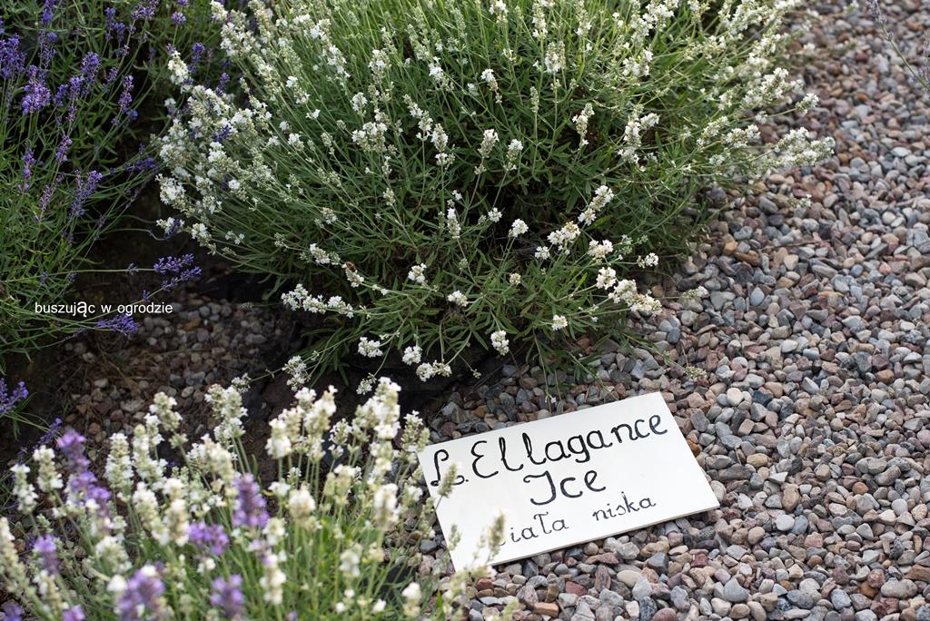 lovenda kujawska, buszując w ogrodzie