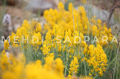 Deosai flowers,Deosai plains,Deosai Flora And Fauna In pictures,Gilgit Baltistan