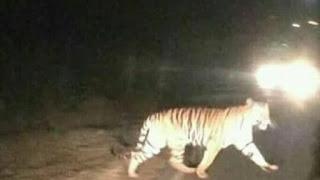 Berita viral, populer, di jambi, merangin, kerinci, penampakan, harimau sumatera