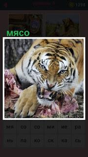 хищный тигр с открытой пастью употребляет мясо