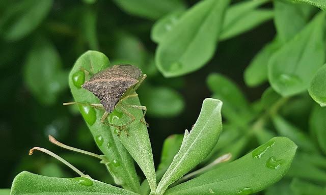 cimici-insetti-piante