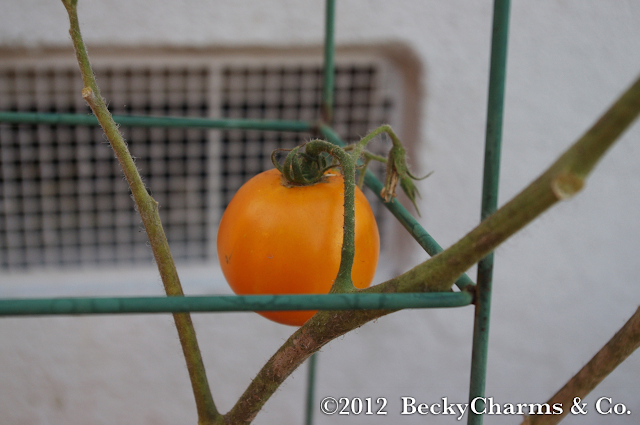 tomato, gardening, produce, fruit, vegetables, green thumb, san diego, beckycharms, becky charms