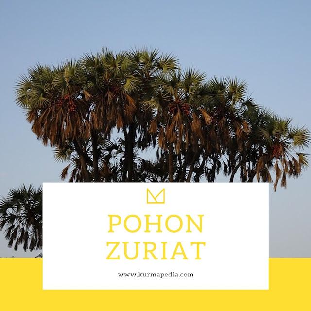buah zuriat | pohon zuriat | Hyphaene thebaica | promil alami