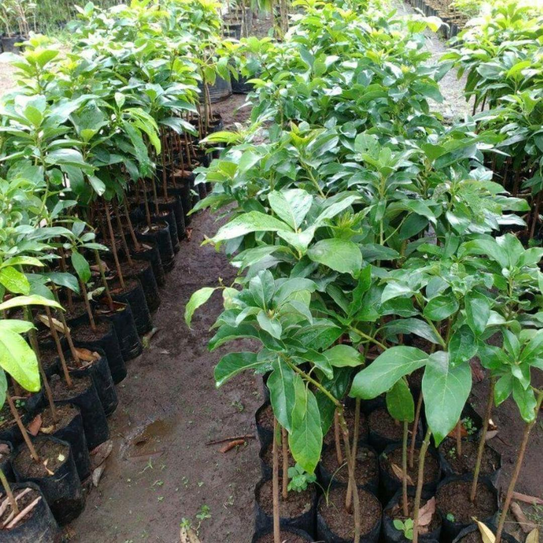Melayani Eceran! Bibit Tanaman Buah Alpukat Miky Tanpa Ulat Kota Bandung #bibit buah langka