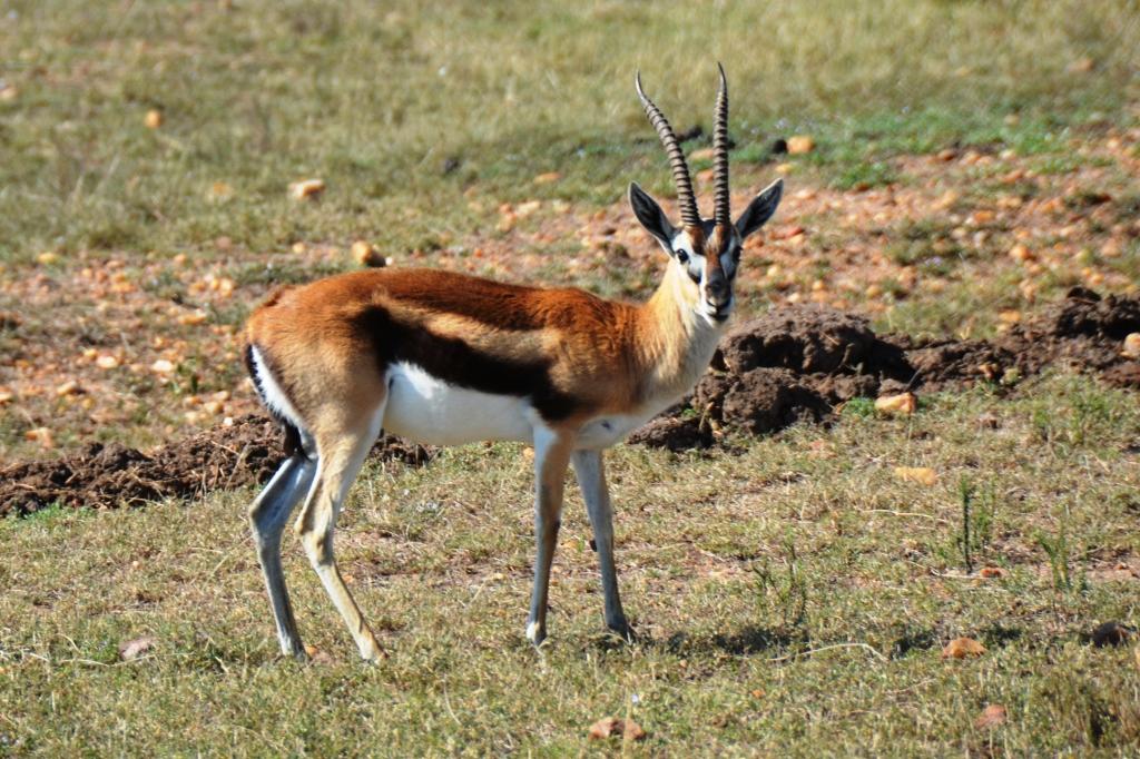 africa tanzania thomsons gazelle eudorcas thomsonii - 1024×682