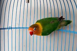 Daftar Harga Love bird Hancur Terbaru Mei 2019 Apa Penyebabnya ???