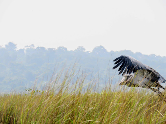 Shoebill flying over Mabamba Swamp in Uganda