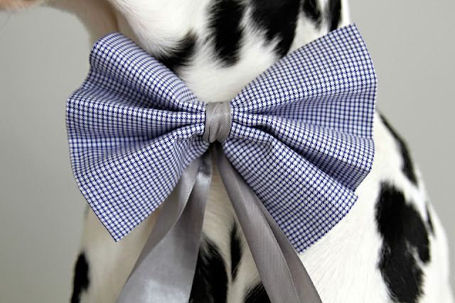 Dalmatian dog wearing a blue check bow tie with silver ribbons