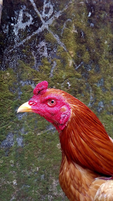 Rahasia Botoh Tua: Jamu Tenaga Ayam Bangkok Maksimal