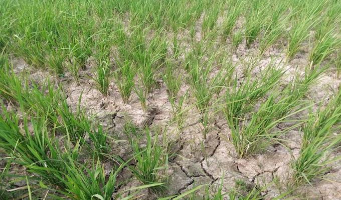 Buka Tutup Irigasi Pamarayan Timur Akibatkan Kekeringan Area Persawahan di Tiga Wilayah, Petani Terancam Gagal Panen