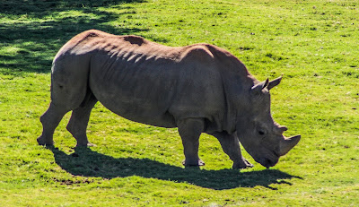 Massive rhinoceros standing on grass