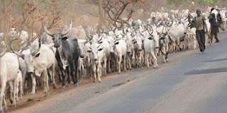 Cow Meat Sales Drop In South East ..Miyetti Allah Laments