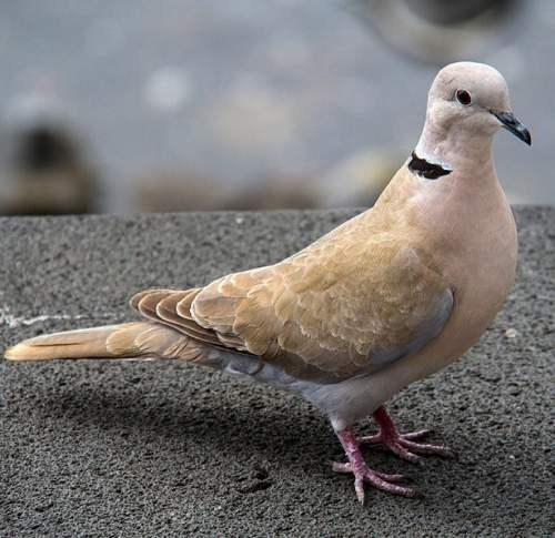 Indian birds - Picture of Eurasian collared dove - Streptopelia decaocto