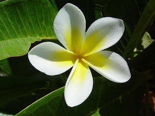 Top 5 Plumeria flowers HD Desktop wallpaper free download