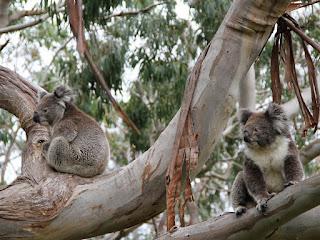 Fakta Tentang Koala