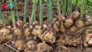 Peluang Usaha Pertanian Jahe