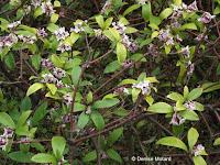 Daphne odora in bloom - Tokyo Imperial Gardens, Japan