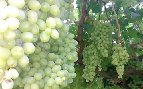 زراعة بالسويداء تقدر إنتاج العنب بأكثر من 54 ألف طن للموسم الحالي