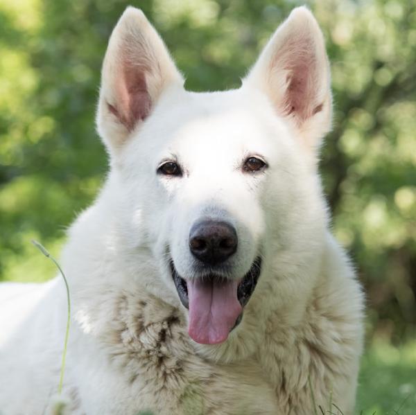 Happy Smiling Large White Dog