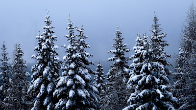Winter, forest, spruce, trees, snow, nature