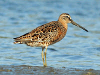 Short-billed Dowitcher in breeding plumage – Sunset Beach, NC – Apr. 2008 – photo by Dick Daniels