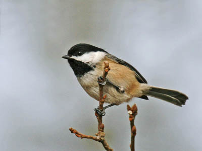 Photo of Black-capped Chickadee on twigs