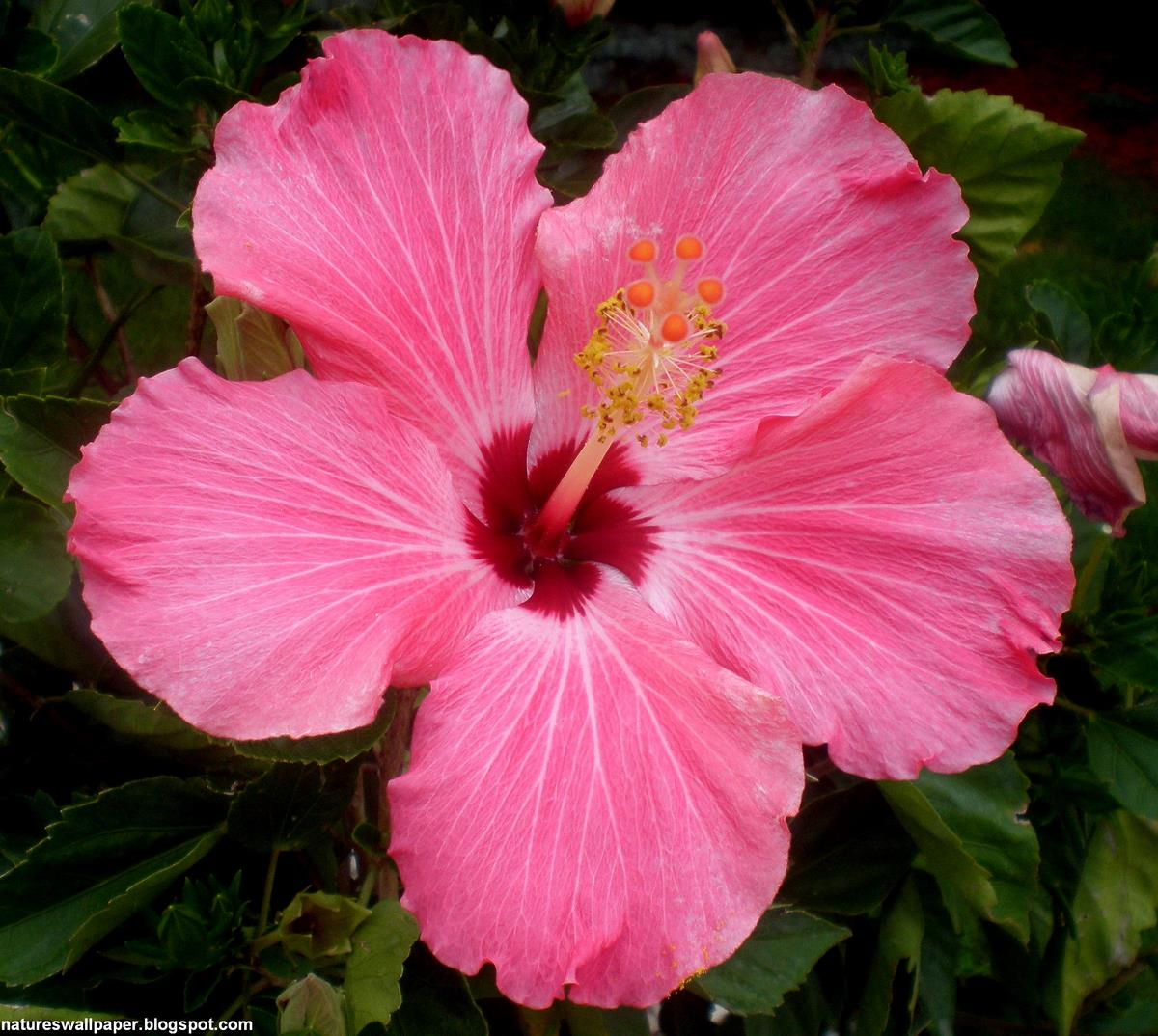 Free Download Hibiscus Flower