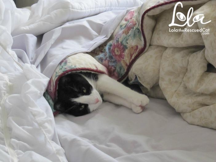 cat in blankets