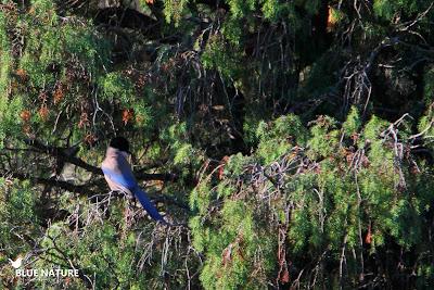 Rabilargo ibérico (Cyanopica cooki) con el color azul de las plumas de la cola y las alas.