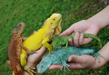 jenis jenis iguana