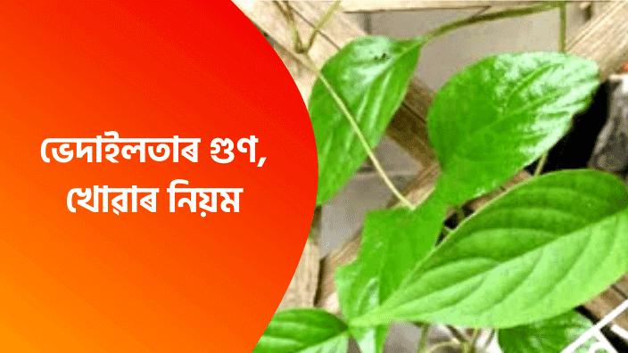 Assamese Health Tips ভেদাইলতাৰ গুণ | Vedailta Assamese | Vedai Lota
