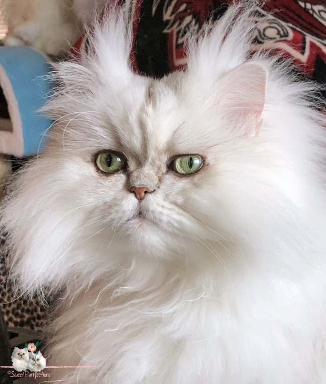 silver shaded Persian Cat, Brulee, with green eyes and vertical slits