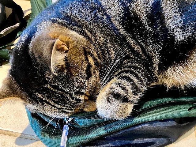 tabby cat curled up asleep on a school bag
