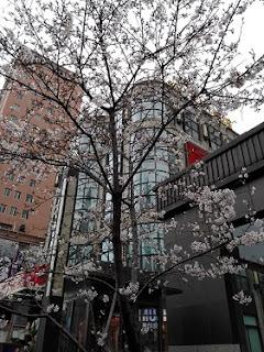 上海の街中に咲いた桜