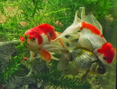 Kỹ thuật nuôi cá cảnh trong bể không có bơm khí hỗ trợ oxy