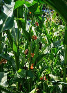 fasola i kukurydza na działce