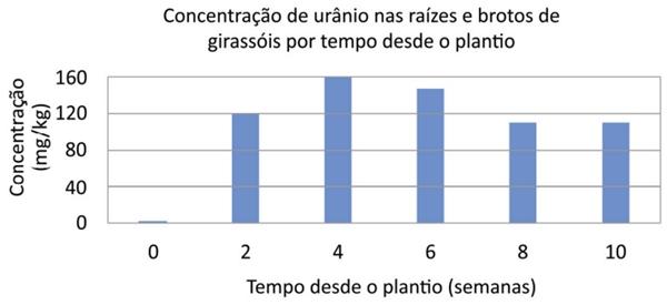 Concentração de urânio nas raízes e brotos de girassóis por tempo desde o plantio
