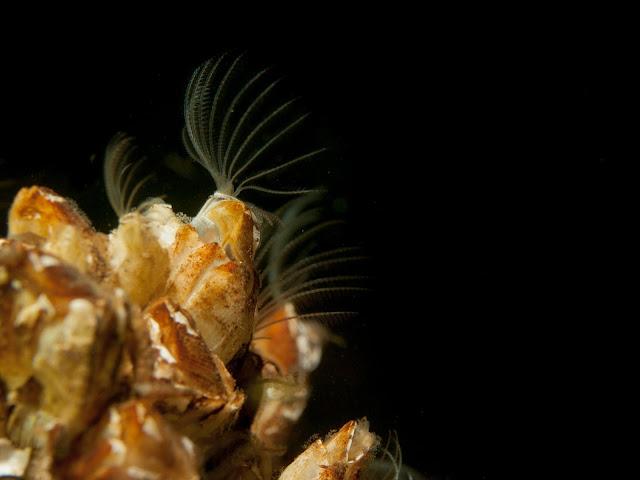 Makrokuvassa kalkkikuoresta kurkottaa sulkamainen elin ja viuhtoo vettä