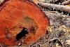 Gusano acaba con árboles en el Zapotecas